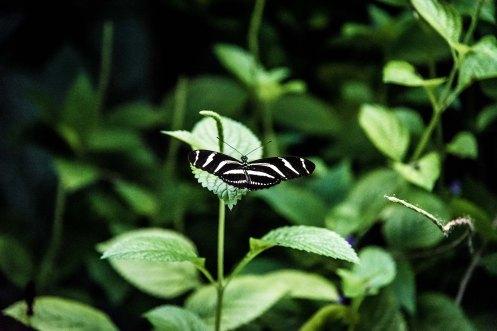 Papilion-043