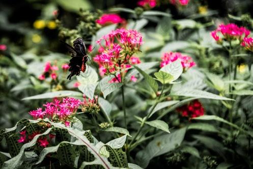 Papilion-070