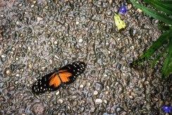 Papilion-085