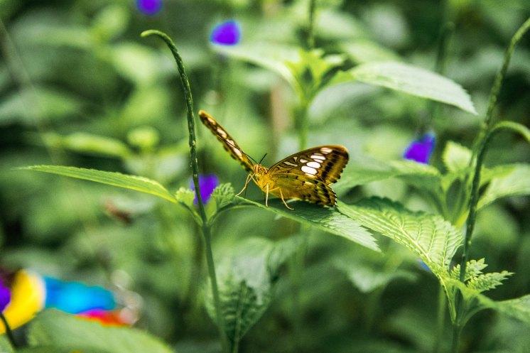 Papilion-089